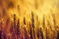 Orecchie dorate del grano nel campo Immagini Stock