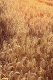 Orecchie dorate del grano nel campo agricolo nel tramonto Immagine Stock