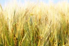 Orecchie dorate di frumento Fotografia Stock