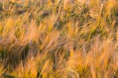 Orecchie dorate di frumento sul campo Fotografia Stock