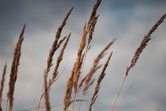 Orecchie dorate di grano contro il primo piano del cielo nuvoloso Sguardi gialli della segale di autunno al cielo fotografia stock libera da diritti