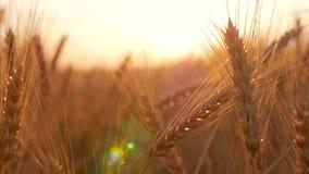 Orecchie dorate di grano sul campo al tramonto Chiuda in su delle orecchie mature del frumento Bello contesto delle orecchie di m video d archivio