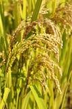 Orecchie dorate di riso Immagini Stock