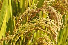 Orecchie dorate di riso Fotografie Stock Libere da Diritti