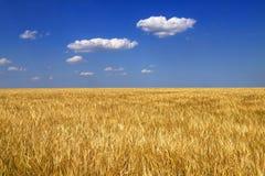 Orecchie dorate mature di grano nel campo contro il cielo blu, fondo Idea alta vicina della natura di un raccolto ricco di estate immagine stock libera da diritti