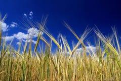 Orecchie dorate mature di grano nel campo contro il cielo, fondo Idea alta vicina della natura di un raccolto ricco di estate immagine stock libera da diritti