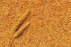 Orecchie e grani del grano dopo il raccolto Immagini Stock Libere da Diritti