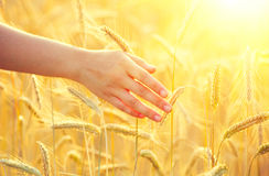 Orecchie gialle commoventi del grano della mano della ragazza Immagini Stock Libere da Diritti
