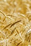 Orecchie gialle mature del pane sul campo Fotografia Stock Libera da Diritti