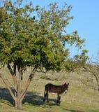 Orecchie lunghe dell'asino con l'albero Fotografia Stock
