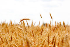 Orecchie mature del campo di grano Immagine Stock