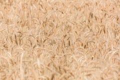 Orecchie mature del campo di grano Fotografia Stock