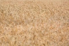 Orecchie mature del campo di grano Immagine Stock Libera da Diritti