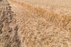 Orecchie mature del campo di grano Immagini Stock Libere da Diritti