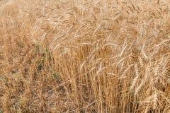 Orecchie mature del campo di grano Fotografie Stock Libere da Diritti