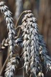 Orecchie mature del frumento Immagini Stock Libere da Diritti