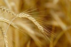 Orecchie mature del grano Fotografia Stock Libera da Diritti