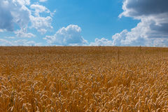 Orecchie mature del grano contro cielo blu con le nuvole Immagine Stock