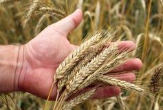 Orecchie mature del grano nella mano Fotografie Stock