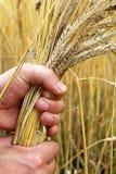 Orecchie mature del grano nella mano Fotografie Stock Libere da Diritti