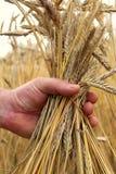Orecchie mature del grano nella mano Immagini Stock Libere da Diritti