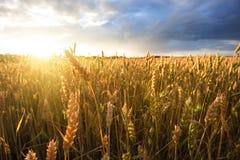 Orecchie mature del grano sotto il cielo nuvoloso Immagine Stock