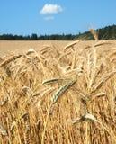 Orecchie mature di grano Fotografie Stock