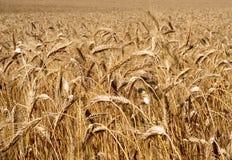 Orecchie mature di grano Fotografia Stock Libera da Diritti