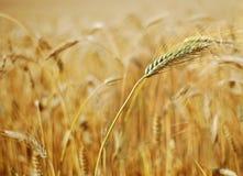 Orecchie mature di grano Immagini Stock Libere da Diritti