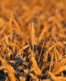 Orecchie mature di grano nel campo di estate Immagine Stock Libera da Diritti