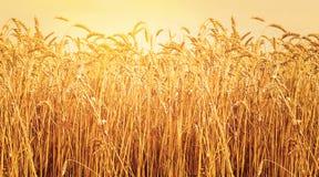 Orecchie mature di grano nel campo durante il tramonto del raccolto Paesaggio di estate di agricoltura Scena rurale immagine stock