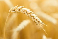 Orecchie mature di grano nel campo durante la fine del raccolto su Aratura del campo Scena rurale Priorità bassa di Bokeh immagini stock libere da diritti