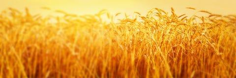 Orecchie mature di grano nel campo durante la fine del raccolto su Paesaggio di estate di agricoltura Scena rurale immagine panor fotografie stock