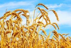 Orecchie mature di grano nel campo durante la fine del raccolto su Paesaggio di estate di agricoltura Sfondo naturale rurale fotografie stock libere da diritti
