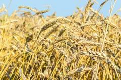 Orecchie mature di grano in un campo Immagini Stock