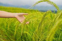 Orecchie mature di riso in una mano del ` s della donna Prodotti dal concetto del riso Il riso si sfalda, flour, beve, vodka di c fotografia stock