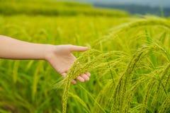 Orecchie mature di riso in una mano del ` s della donna Prodotti dal concetto del riso Il riso si sfalda, flour, beve, vodka di c fotografia stock libera da diritti