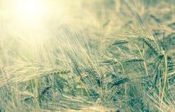 Orecchie mature dorate organiche di grano nel campo Immagini Stock