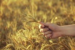 Orecchie mature e asciutte di grano dorato in un campo al tramonto nel suo agronomo della mano Fotografia Stock