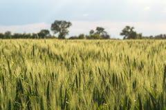 Orecchie non mature di grano sul campo Immagini Stock