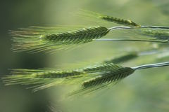 Orecchie non mature di grano in un campo di estate Fotografie Stock Libere da Diritti