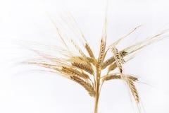 Orecchie orizzontali del grano isolate su fondo bianco Immagini Stock Libere da Diritti