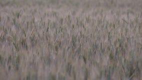 Orecchie quasi mature di grano che ondeggiano nel campo stock footage
