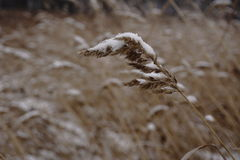 Orecchie selvagge coperte di neve Immagine Stock Libera da Diritti