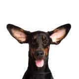 Orecchie sveglie del cane del dobermann Fotografie Stock Libere da Diritti
