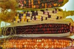 Orecchie variegate del mais fotografia stock