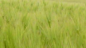 Orecchie verdi del grano che ballano con il vento video d archivio