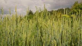 Orecchie verdi del grano e cielo nero immagine stock
