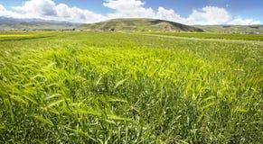 Orecchie verdi del grano nella valle Fotografie Stock