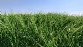 Orecchie verdi di grano che ondeggiano nel vento archivi video